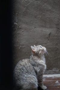 кот на сером фоне
