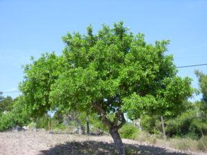 Рожковое дерево (кэроб)