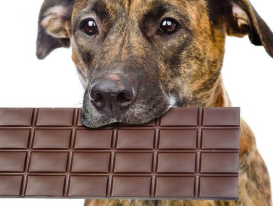 Собаки и шоколад в чем вред